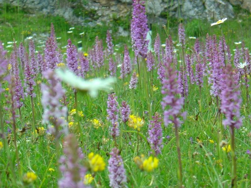 orchideen-dobratsch